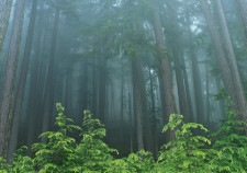 Nature-forest-evergreen-park-washington-national-olympic-wallpaper-art