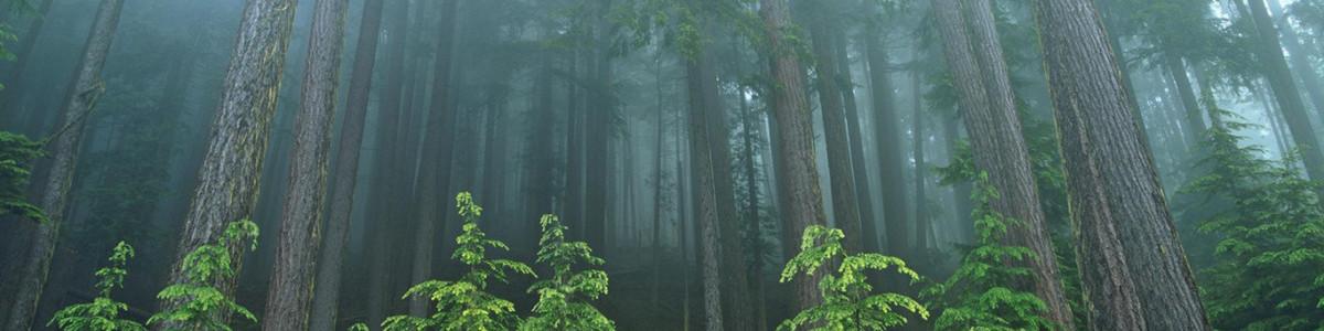 Nature-forest-evergreen-park-washington-national-olympic-wallpaper-art